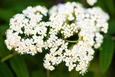 sorbus: White flowers of the rowan tree. Close up.