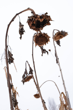 흰색 하늘 배경에 겨울에 씨앗없이 시든 해바라기입니다.