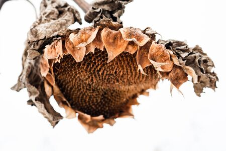 droop: Withered sunflower head without seeds in winter.