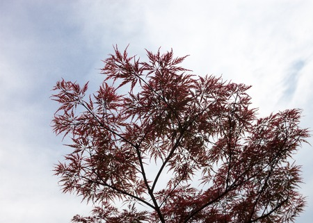 palmatum: Pink leaves on the branches of the Japanese maple (Acer palmatum) Stock Photo