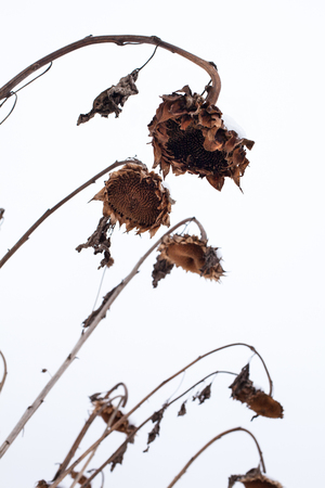 sapless: Withered sunflowers without seeds in winter on the white sky background. Stock Photo