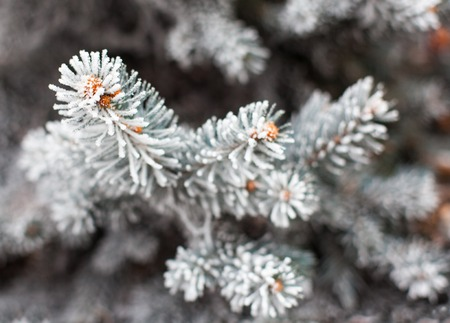 pices: Coniferous branches covered with hoarfrost. Close up.