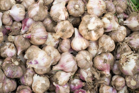 harvest background: Fresh bulbs of garlic from the recent harvest. Background.