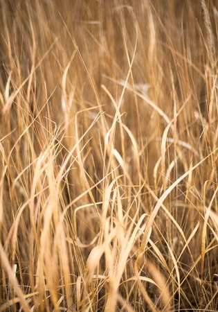 sere: Unmown dry grass in the field. Close up. Stock Photo