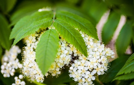 european rowan: White flowers and green leaves of the rowan tree. Close up.