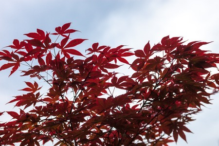acer palmatum: Pink leaves of the Japanese maple (Acer palmatum)