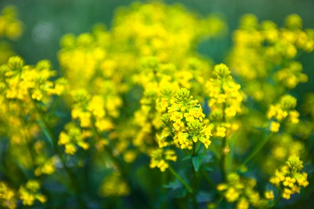 napus: Yellow rapeseed flowers (Brassica napus). Close up.