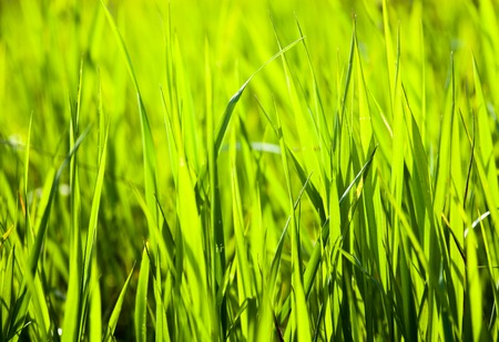 gramineous: Green grass in the summer meadow in the sunshine.