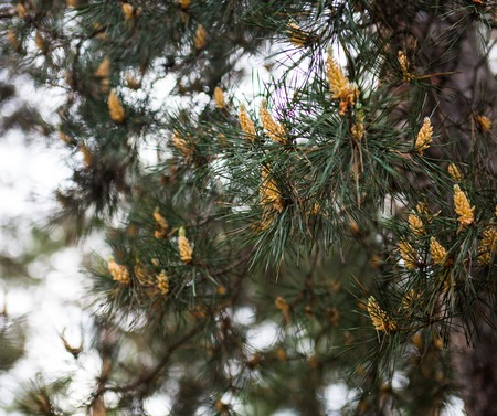 scots pine: Scots pine branches with yellow pollen-producing male cones