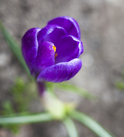 croci: The blue flower of crocus blooming in early spring. Stock Photo