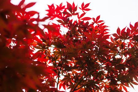 palmatum: Pink leaves of the Japanese maple (Acer palmatum)