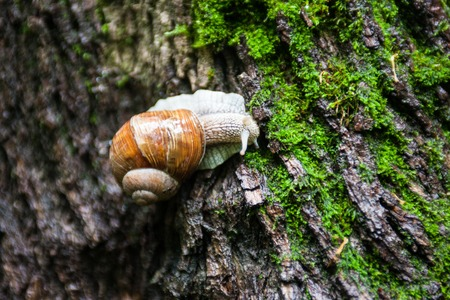 slithery: Land snail on the moss-grown tree bark. Close up.