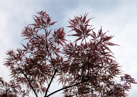 woody: Pink leaves on the branches of the Japanese maple (Acer palmatum) Stock Photo