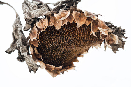 withered: Withered sunflower head without seeds in winter.