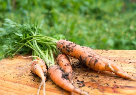 dug: Freshly dug carrots on the wooden cutting board