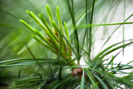scots: Young light green pine needles. Close up.