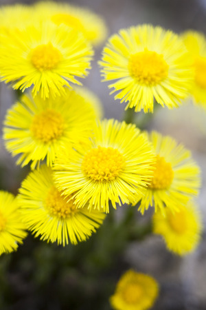 marguerite: Yellow coltsfoot flowers (Tussilago farfara) in early spring. Banque d'images