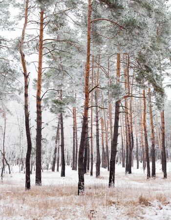 evergreen trees: Pine forest covered with hoarfrost in the cloudy day.