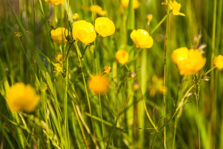 buttercup: Green meadow with blooming yellow buttercup flowers.