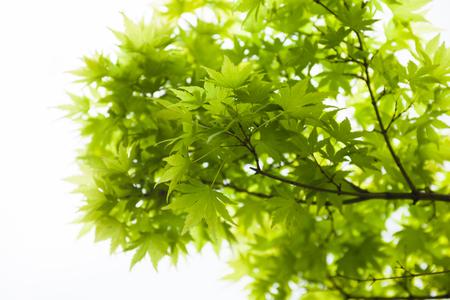 acer palmatum: Green leaves of the Japanese maple (Acer palmatum) Stock Photo