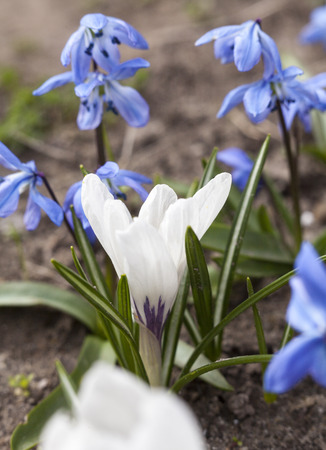 croci: White crocus and blue Scilla flowers blooming in early spring. Stock Photo