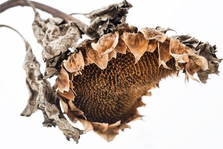 sapless: Testa di girasole appassito senza semi in inverno.