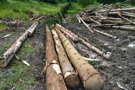 timber harvesting: Timber harvesting. Piles of cut fir logs on the ground.