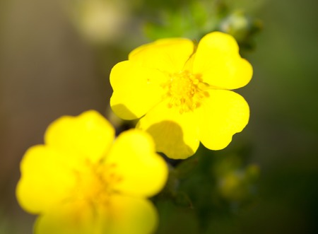 garden flower: Yellow buttercup flowers (Ranunculus) in the meadow. Close up. Stock Photo