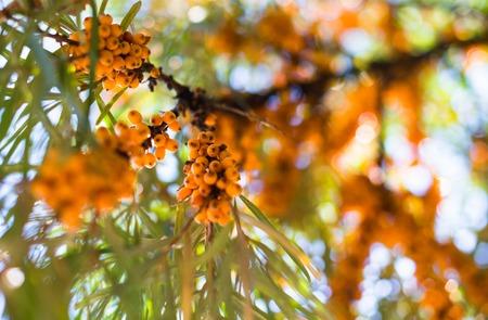 argousier: Jaune baies argousier sur les branches vertes. Banque d'images