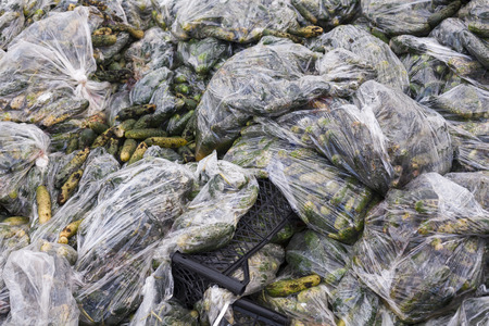 putrefy: Rotten cucumbers in plastic sacks on the landfill. Stock Photo