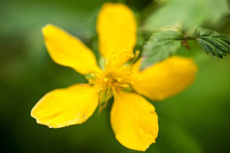 buttercup flower: Yellow buttercup flower (Ranunculus) in the meadow. Close up. Stock Photo