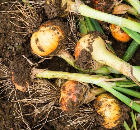 bulb and stem vegetables: Freshly dug onion bulbs on the ground
