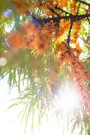 argousier: Yellow sea-buckthorn berries on the green branches. Banque d'images