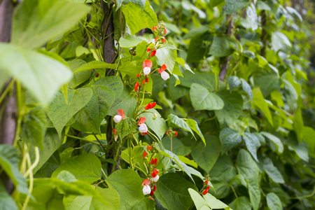 Growing the beans (Phaseolus vulgaris). Green vines and leaves creeping on the vertical support. Standard-Bild