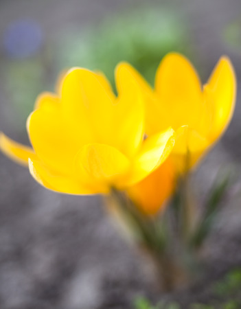 croci: Yellow crocuses blooming in early spring. Close up.