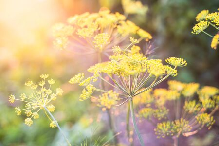 yellow stem: Yellow flowers of dill (Anethum graveolens) in the sunshine. Close up. Stock Photo