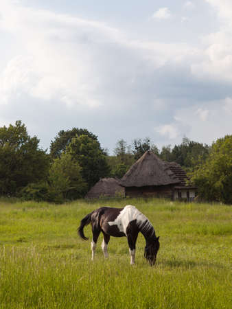 skewbald: The horse grazing on the green meadow near the old houses with thatched roofs. Museum of Folk Architecture and Life of Ukraine in Pyrohiv near Kyiv.