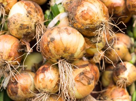 dug: Freshly dug onion bulbs (Allium cepa). Close up.