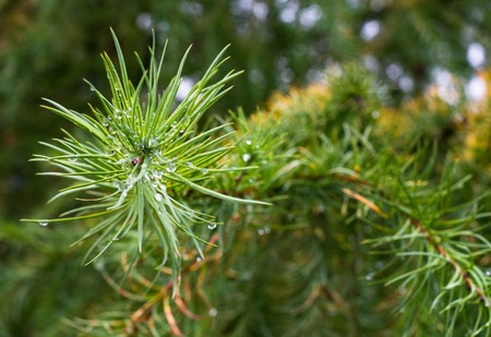 piny: Pine needles covered with raindrops after the rain. Close up.