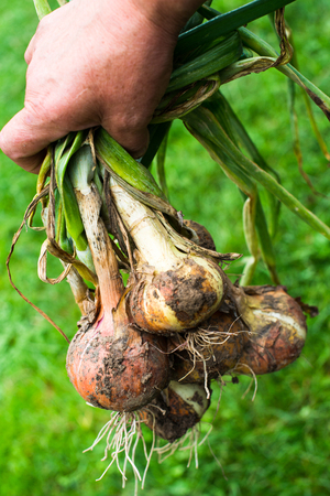 Hand holding a bunch of the freshly dug onion bulbs