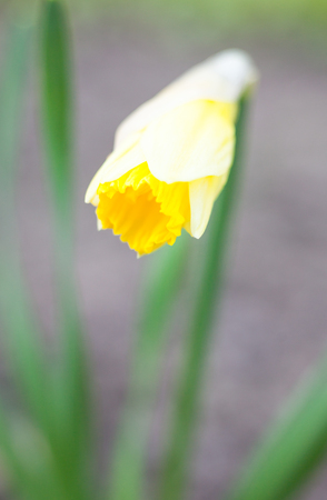 Yellow flower of Narcissus blooming in early spring. Close up. Standard-Bild