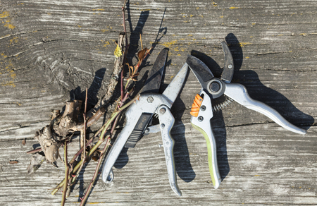 horticultural: Pruning shears and cut branches on the wooden surface.
