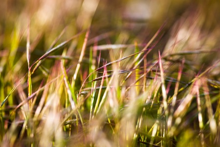 gramineous: Grass in the summer meadow in the sunshine. Close up.