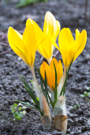 Yellow crocuses blooming in early spring. Close up.