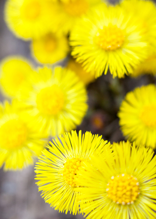 Yellow coltsfoot flowers (Tussilago farfara) in early spring. Standard-Bild