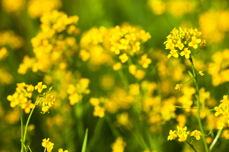 Yellow rapeseed flowers (Brassica napus). Close up.