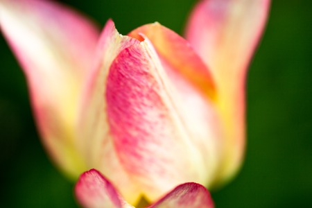 Pink tulip flower opening its petals. Close up.
