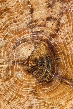 Cross section of the tree trunk. Wooden texture. Standard-Bild