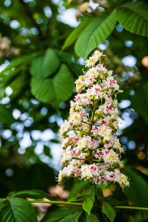 Bunch of white flowers of the horse-chestnut tree Фото со стока