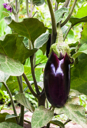 Growing the eggplants (aubergine, or Solanum melongena). Ripe fruit in the vegetable garden. Close-up.